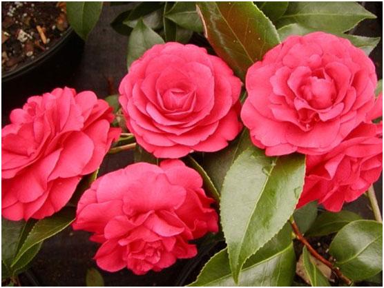cvetok-kamelija