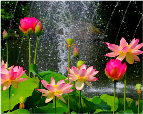 svojstva-masla-lotosa