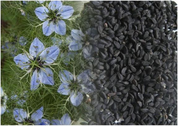 cvety-i-semena-chernogo-tmina