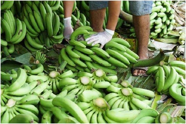 zelenye-banany