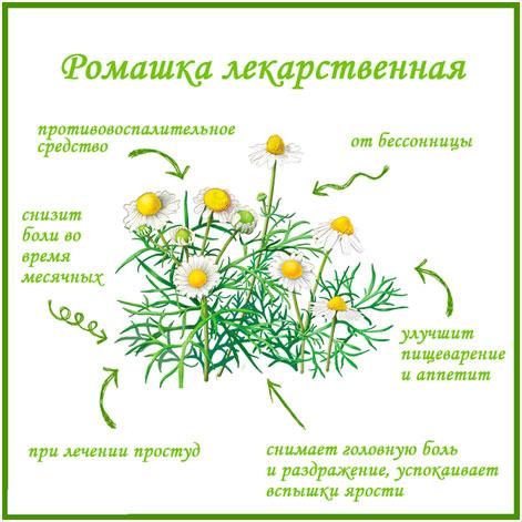 romashka-lekarstvennaja