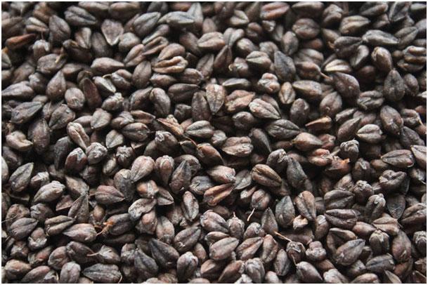semena-grechihi-chernoj