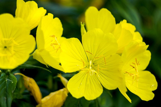 cvety-primuly-vechernej