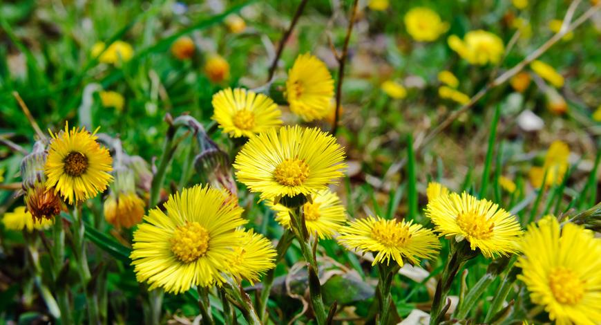 Мать и мачеха: трава, дарящая здоровье